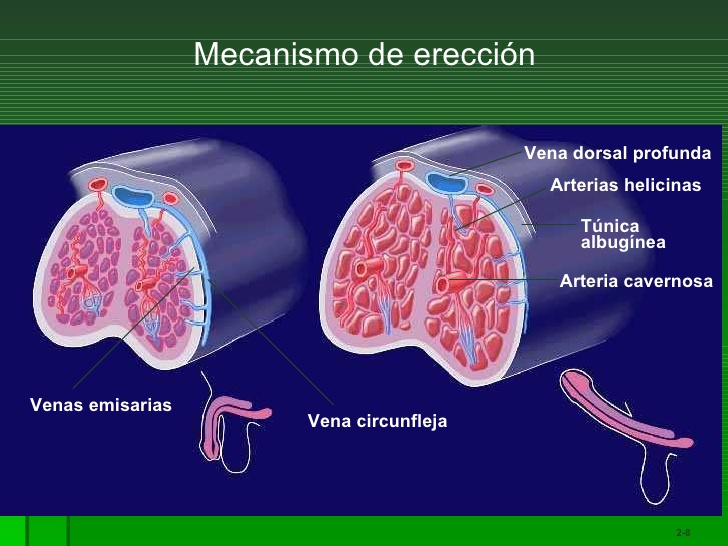 DISFUNCION ERECTIL Y RIESGO DE MUERTE